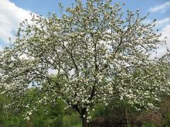 Vollblüte Apfel (0980)