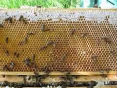 Bienen beginnen Verdeckelung Honigwabe (0969)