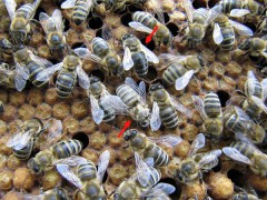 Junge Biene und alte Biene (0962)