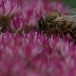 Biene auf Fetter Henne_3730