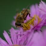 Schwebfliege auf Herbstaster_3743