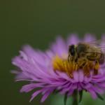Biene auf Herbstaster_3752