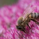 Biene auf Fetter Henne_3759